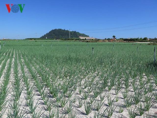 Sốt chuyển nhượng đất nông nghiệp ở Lý Sơn