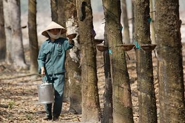 Cao su Hòa Bình thanh lý vườn cao su, dự thu gần 12 tỷ đồng