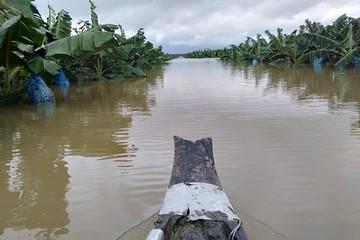 1.200ha chuối chuẩn bị thu hoạch của HAGL tại Lào bị ngập lụt