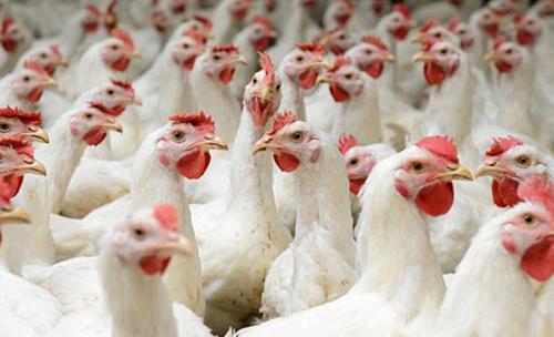 Giá gà rẻ hơn rau