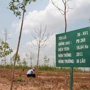 Doanh nghiệp cao su lao đao vì cây chết, giá mủ giảm sâu