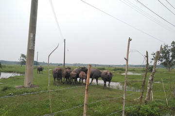 Dự án nghìn tỷ Sài Gòn Safari trở thành nơi chăn trâu