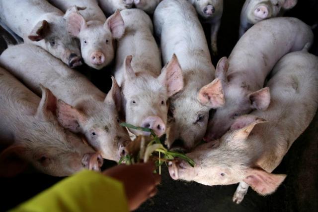 Mỹ chào bán 'phao cứu sinh' cho người nuôi lợn Trung Quốc