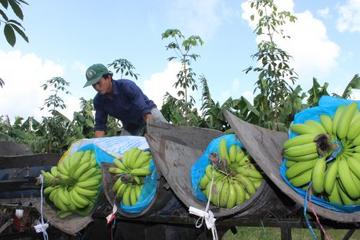 Cao su Thống Nhất lãi vượt kế hoạch, sẽ khai thác hơn 2.300 tấn chuối trong quý IV