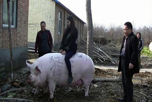 Trung Quốc đẩy mạnh giống lợn 500-750 kg mỗi con