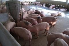 Giá lợn hơi có thể lên đỉnh 70.000 đồng/kg