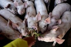 Hàn Quốc điều lính bắn tỉa tới biên giới với Triều Tiên để diệt lợn nhiễm tả lợn châu Phi