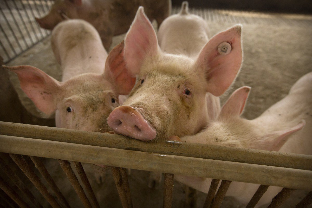Trung Quốc xác nhận trường hợp mới nhiễm bệnh tả lợn châu Phi