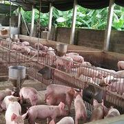 Giá thịt lợn tiếp tục xu hướng tăng