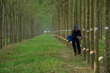Cao su Đồng Phú ước lợi nhuận 159 tỷ đồng sau 10 tháng
