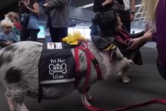 'Nhân viên lợn' giúp hành khách giải tỏa căng thẳng tại sân bay ở Mỹ
