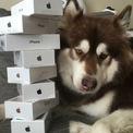 """<p> Thiếu gia 31 tuổi nổi tiếng với lối sống xa hoa và thường xuyên có những hành động """"khoe của"""" cùng phát ngôn bị đánh giá là ngông cuồng trên mạng xã hội. Năm 2016, Vương mua cho cô chó cưng mang tên Coco của mình 8 chiếc iPhone 7. Năm 2015, """"công chúa cún"""" này cũng từng được cậu chủ tặng cho 2 chiếc Apple Watch vàng. (Ảnh: <em>SCMP</em>)</p>"""
