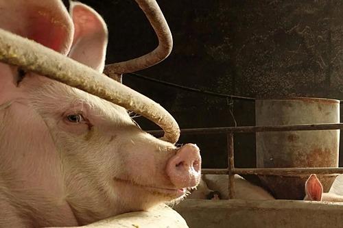 Heo được chăn nuôi tại Trung Quốc. Ảnh: Reuters