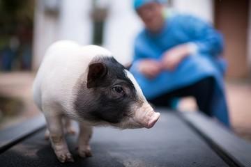 Trung Quốc đua phát triển 'siêu lợn' cùng Mỹ, châu Âu