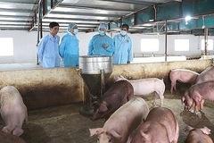 Dịch tả lợn châu Phi đang có dấu hiệu giảm dần