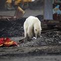 """<p class=""""Normal""""> Một chú gấu Bắc cực được tìm thấy trong tình trạng kiệt sức, đói lả và đang cố tìm kiếm thức ăn vào ngày 17/6 ở thành phố Norilsk, Nga, cách nơi sinh sống bình thường của chúng hơn 1.000 km. Lần cuối cùng người ta nhìn thấy gấu Bắc cực xuất hiện gần Norilsk là hơn 40 năm trước, ông Anatoly Nikolaichuk, một quan chức thuộc Cơ quan Kiểm soát Rừng của Nga, nói.<br /><br /><span>Tình trạng băng tan do biến đổi khí hậu đã gây tổn hại nghiêm trọng đến môi trường sống và săn bắt thức ăn của gấu Bắc cực. Chúng bắt đầu đi về phía nam để kiếm ăn và thậm chí phải tìm kiếm thức ăn trong những bãi rác. Đầu năm nay, tình trạng khẩn cấp đã được ban bố tại một khu vực ở miền bắc nước Nga khi hàng chục con gấu Bắc cực đói đang cố kiếm thức ăn trong đống rác và đi vào các tòa nhà, nhà ở công cộng. Ảnh: <em>Reuters</em>.</span></p>"""