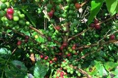 Xuất khẩu cà phê lao dốc