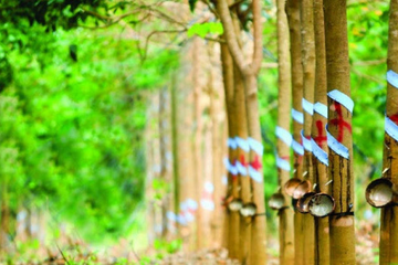 Cao su Đồng Phú lãi 11 tháng đạt 188 tỷ đồng, thực hiện 82% kế hoạch năm