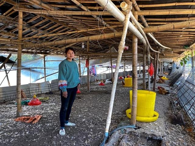 Chen Chunhua phải chôn tiêu hủy lợn của cô, ngay khi chúng vẫn còn sống. Ảnh: SCMP.