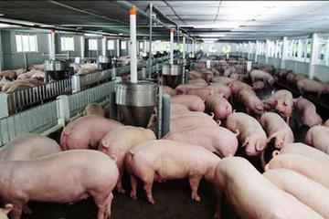 Thịt lợn hạ giá, C.P quyết định giảm 1.000 đồng/kg