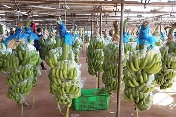 Hoàng Anh Gia Lai Agrico xuất khẩu chuối sang Trung Quốc