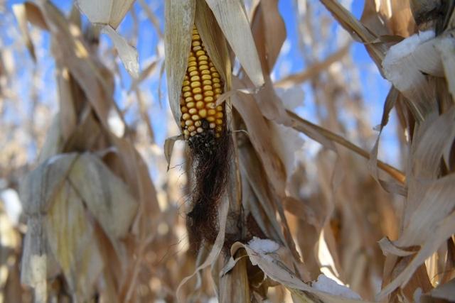 Ở Texas, Kansas và Colorado, nông dân đang cân nhắc xem họ có nên trồng ít ngô và nhiều cao lương lên hay không. Ảnh: Reuters.