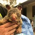 <p> Một chú gấu túi được cứu thoát khỏi đám cháy ở Blue Moutain vào ngày 29/12. Đại học Sydney ước tính riêng ở bang New South Wales đã có khoảng 480 triệu động vật hoang dã bị chết trong thảm họa cháy rừng ở Australia từ tháng 9 năm ngoái đến nay. Điều này dấy lên lo ngại về nguy cơ tuyệt chủng loài gấu túi vốn đang suy giảm nhanh về số lượng. Ảnh: <em>Getty Images.</em></p>