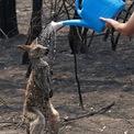 """<p class=""""Normal""""> Một chú kangaroo bị bỏng nghiêm trọng trong đám cháy tại bang New South Wales đang được người dân đổ nước lạnh lên người. Ảnh: <em>Daily Mail Australia.</em></p>"""