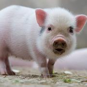 Giá thịt lợn tăng mạnh, Dabaco ước lãi quý IV gấp 2,3 lần cùng kỳ