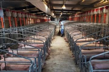 Giá thịt lợn Trung Quốc tăng 97% trong tháng 12, lạm phát tiếp tục cao