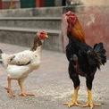 """<p> Con gà chuẩn theo dân gian phải có """"Đầu công, mình cốc, cánh trai, đuôi nơm, mã mận, chân đậu nành"""", dáng dấp được ví như dũng tướng. Gà Hồ mái nặng nhất trong trang trại anh Dũng khoảng 4,6 kg, gà trống khoảng 5,5 kg sau 10 tháng nuôi. Chân gà Hồ vàng đều, không quá to, vẩy xếp như hạt đậu. Một lứa gà nuôi từ 12 đến 14 tháng, con trống trưởng thành có thể nặng hơn 6 kg. """"Nhiều người từ khắp các tỉnh trong Nam ngoài Bắc tới nhà tôi mua giống, nhưng nuôi không lớn. Gà Hồ hình như chỉ hợp với đất làng Hồ"""", anh Dũng chia sẻ.</p>"""