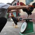 """<p> Tuy trọng lượng lớn, nhưng do vận động nhiều nên kích thước gà Hồ không khác nhiều các loại gà thường. Nửa đầu tháng chạp, anh Dũng cho xuất chuồng 100 con gà, đều nặng trên 4,5 kg; giá từ 400.000 đến 600.000 đồng mỗi kg. """"Tuy giá đắt hơn gà thường nhưng khách hàng đặt mua nhiều để làm quà biếu dịp Tết"""", anh nói và cho biết riêng con gà trống """"tướng quân"""" chân vàng, nặng gần 6 kg, anh giữ lại để dự thi hội gà Hồ được tổ chức vào dịp 10/2 âm lịch.</p>"""