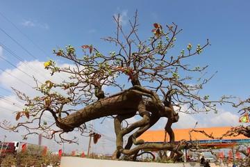 Chiêm ngưỡng 'đại lão mai' Nét xưa Bình Định và Vũ nữ chân dài