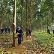 Chi phí tài chính tăng mạnh, Cao su Đắk Lắk giảm 9% lợi nhuận quý IV