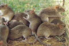Những quốc gia coi chuột là đặc sản trên thế giới