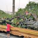 <p> Vườn cây cảnh A. Tèo (Châu Thành, Bến Tre) mang tới hội chợ hoa xuân Phú Mỹ Hưng, quận 7, TP HCM một cây ổi cảnh, được thiết kế bonsai với chiều rộng khoảng 5m, dài 2m. Chủ vườn rao bán giá 1,2 tỷ đồng.</p>