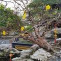 <p> Ngoài cây cổ thụ hàng trăm tuổi, chủ vườn cũng ghép thêm gốc mai khác. Cây mai lớn - cây mai nhỏ như dáng mẹ - con trong cùng một cảnh.</p>