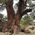 <p> Chủ vườn cho biết đã mất 6 năm để chăm sóc, tạo dáng cho cây me tiền tỷ.</p>