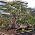 <p> Nhiều cây khác trong vườn cảnh A. Tèo có giá bán vài trăm triệu đồng.</p>