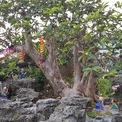 <p> Cây ổi được người chủ vườn mua về từ Bến Tre và mất 4 năm để làm thân, dựng cảnh hồ nước, đá núi, cầu treo...</p>