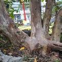 <p> Cây có tuổi thọ hàng chục năm tuổi với gốc to tròn, nhiều nhánh.</p>