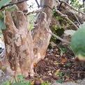 <p> Cây già được chăm sóc tốt nên cành lá khá xum xuê, nhiều trái.</p>