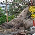 <p> Với tuổi thọ hơn trăm tuổi, vườn A. Tèo rao giá bán cây mai là 900 triệu đồng.</p>