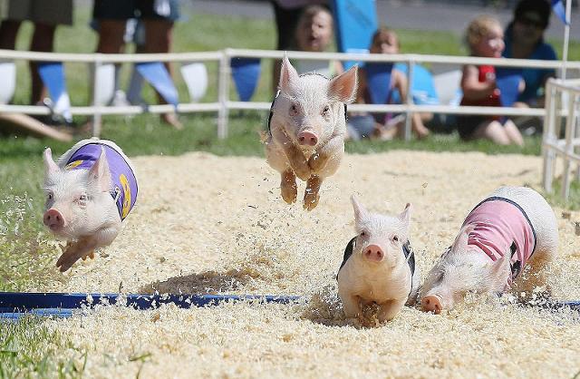 Công ty kinh doanh lợn làm ăn như thế nào trong năm Hợi?