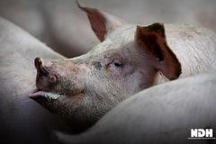 'Năm tuổi' của lợn