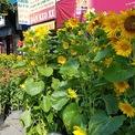 <p> Hoa hướng dương được rao bán giá 350.000 đồng/cặp. Chủ vườn cho biết vừa mới nhập từ Đà Lạt xuống bán, vì muộn nên đã phải giảm giá so mấy ngày trước khoảng 100.000 đồng/cặp.</p>