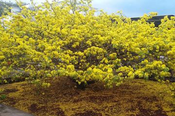 Bí ẩn về cây mai 'khủng' nhất Việt Nam ở Đồng Nai