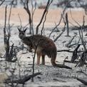"""<p class=""""Normal""""> Thảm họa cháy rừng ở Australia vẫn chưa kết thúc với gần 110.000 km2 bị thiêu rụi, hàng nghìn ngôi nhà bị phá hủy và ít nhất 31 người thiệt mạng, hàng trăm triệu con vật chết. Giới khoa học ước tính thảm họa ở Australia thải ra khoảng 900 triệu tấn carbon dioxide vào bầu khí quyển, gần gấp đôi lượng khí thải từ nhiên liệu hóa thạch hàng năm của nước này.</p> <p class=""""Normal""""> Một con kangaroo ở đảo Kangaroo Island, Australia. Ảnh: <em>Reuters.</em></p>"""