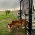 """<p class=""""Normal""""> Một con hổ được thả về khu bảo tồn động vật hoang dã gần Winburg, Nam Phi, ngày 21/1. Đây là một trong 21 con hổ được giải thoát sau nhiều năm bị giam giữ và hành hạ tại một rạp xiếc ở Guatemala. Ảnh: <em>Reuters.</em></p>"""