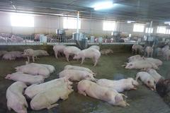 Các đại gia chăn nuôi vượt qua 'cơn bão' dịch tả heo châu Phi như thế nào?